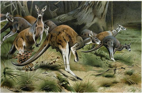 Kangaroo Drawing - The Red Kangaroo by English School