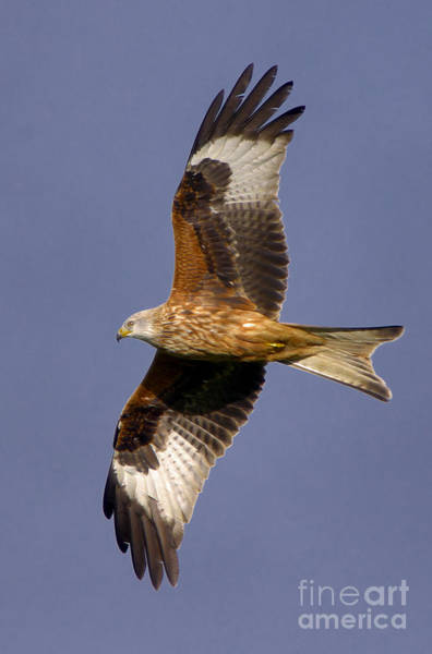 Photograph - The Red Kite by Martyn Arnold