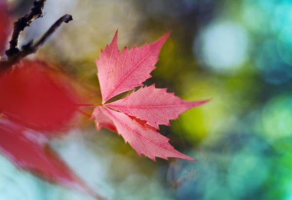 Wall Art - Photograph - The Red Leaf  by Kadek Susanto