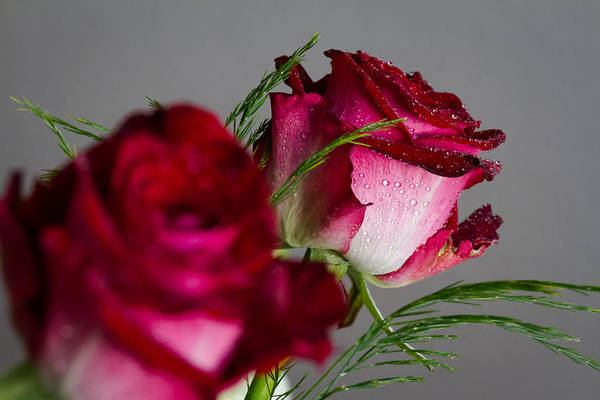 Photograph - The Red Rose by Andreas Levi