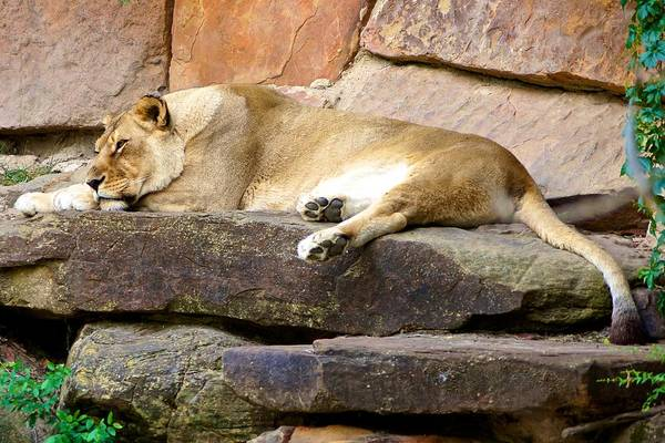 Photograph - The Resting Lioness by Ricardo J Ruiz de Porras