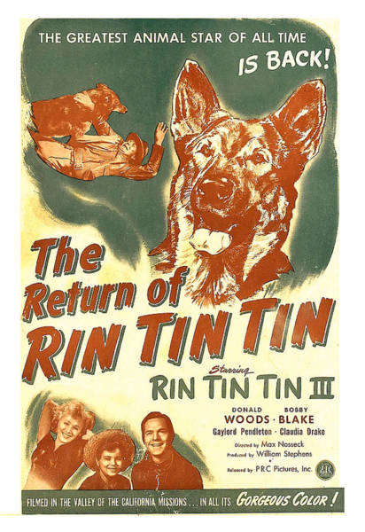Wall Art - Photograph - The Return Of Rin Tin Tin, Us Poster by Everett