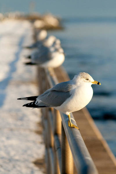 Photograph - The Ring-billed Gull by Kristia Adams