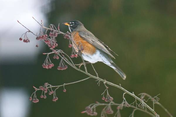 Photograph - The Robin And The Frozen Chokecherries by Kristin Hatt
