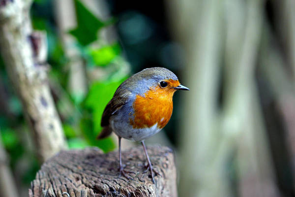 Wall Art - Photograph - The Robin by Chris Whittle