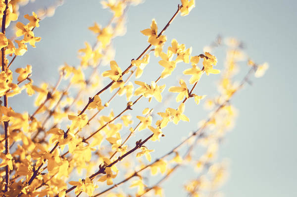 Forsythia Photograph - The Romance Of Spring by Carolyn Cochrane