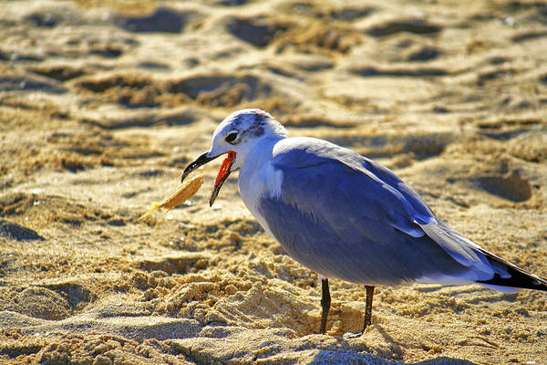 Photograph - The Seagull And His Sand-crusted Fish 1 Of 3 by Jason Politte
