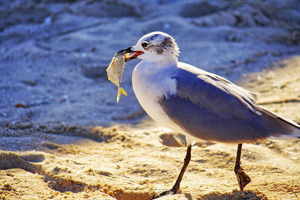 Photograph - The Seagull And His Sand-crusted Fish 2 Of 3 by Jason Politte