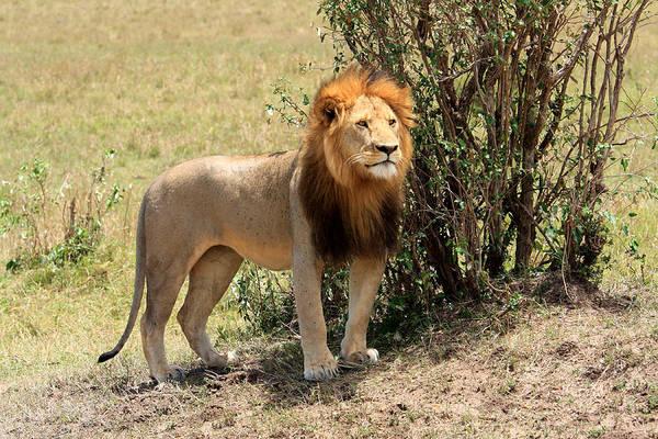 Photograph - King Of The Savannah by Aidan Moran