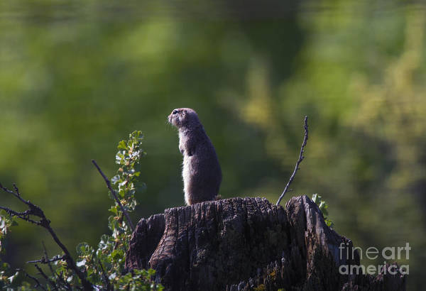Squirrel Photograph - The Sentry by Mike  Dawson