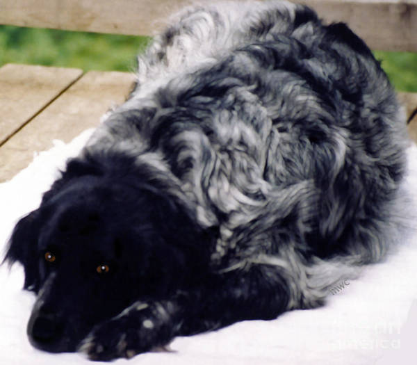 Photograph - The Shaggy Dog Named Shaddy by Marian Cates