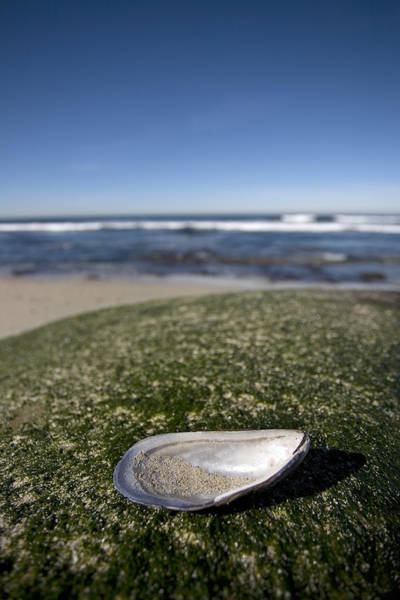Mussel Wall Art - Photograph - The Shell by Peter Tellone