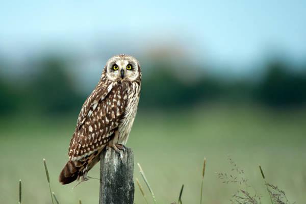 The Short-eared Owl  Art Print