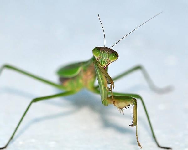 Photograph - The Shy Mantis by Lara Ellis