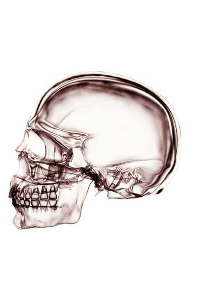 Wall Art - Photograph - The Skull by Science Picture Co/science Photo Library