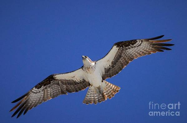 River Hawk Photograph - The Sky's The Limit by Quinn Sedam