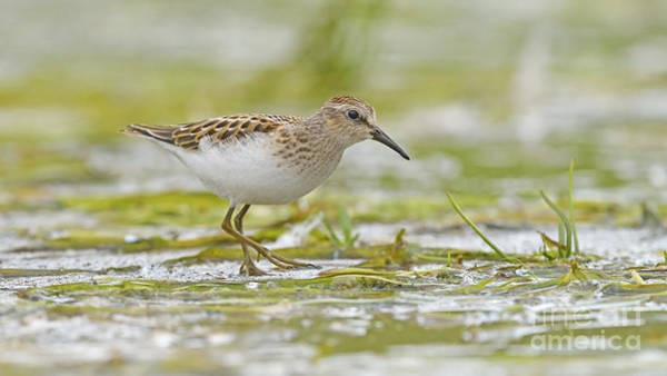 Shirleys Bay Photograph - The Smallest Sandpiper by Joshua McCullough