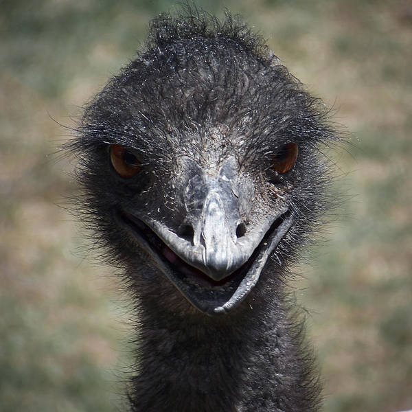 Emu Photograph - The Smile by Ernie Echols
