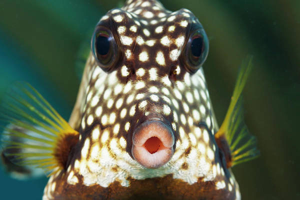 Singly Photograph - The Smooth Trunkfish  Lactophrys by Dave Fleetham