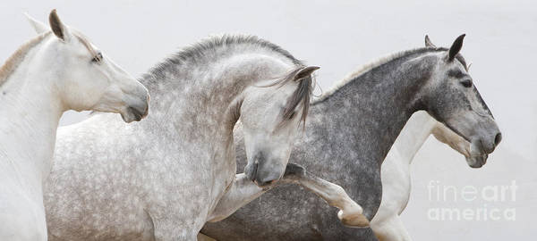 Andalusian Stallion Wall Art - Photograph - The Spanish Stallion And His Mares by Carol Walker