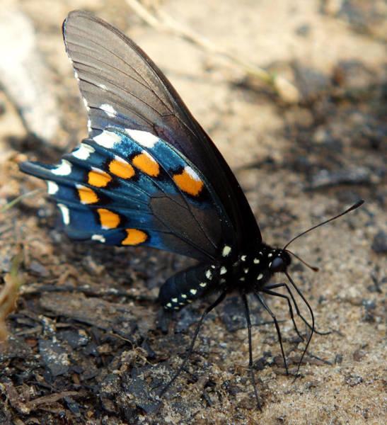 Photograph - The Spicebush Swallowtail Papilio Troilus by Kim Pate