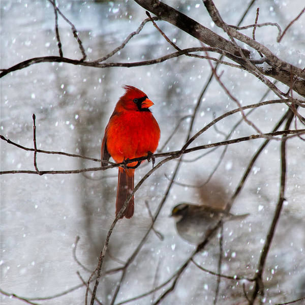 Bird In Tree Photograph - Blue Eyes In The Snow Cardinal  by Betsy Knapp