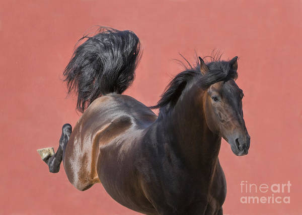 Andalusian Stallion Wall Art - Photograph - The Stallion And The Red Wall II by Carol Walker