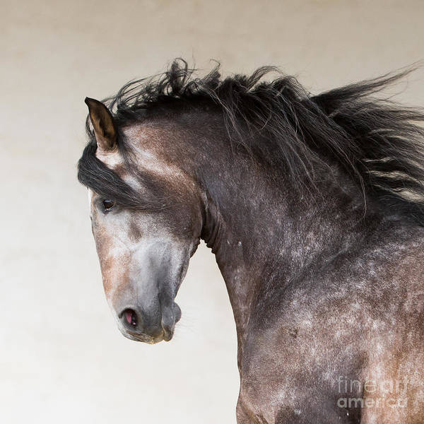 Andalusian Stallion Wall Art - Photograph - The Stallion Runs by Carol Walker