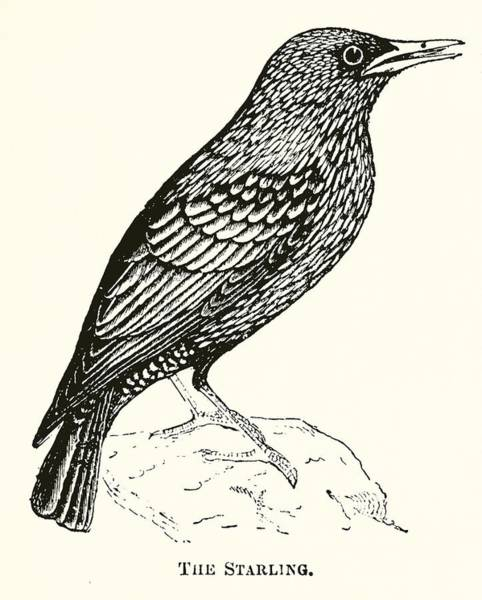 Starlings Drawing - The Starling by English School