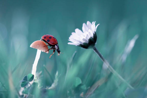 Wall Art - Photograph - The Story Of The Lady Bug That Tries To Convice The Mushroom To Have A Date With The Beautiful Daisy by Fabien Bravin