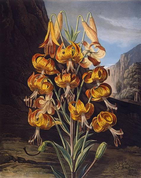 Lilium Wall Art - Drawing - The Superb Lily, From The Temple by Philip Reinagle