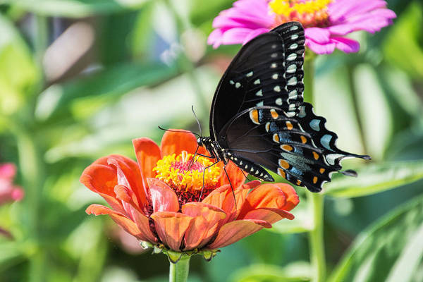 Photograph - The Swallowtail by Jeanne May