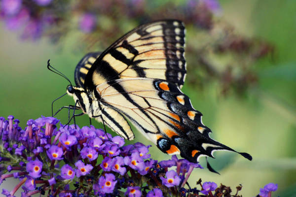 Photograph - the Swallowtail by Leda Robertson