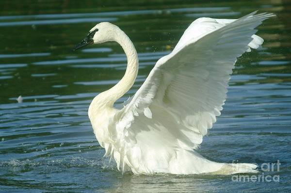 Trumpeter Swan Wall Art - Photograph - The Swan Rises  by Jeff Swan