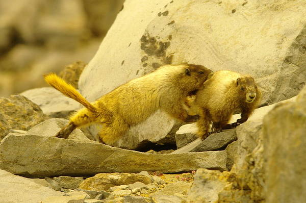 Marmot Photograph - The Tackle by Jeff Swan