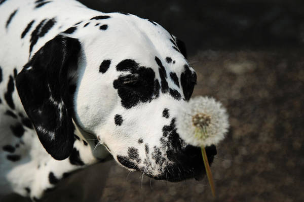Photograph - The Tender Soul Of Dalmation. Kokkie. Dalmation Dog by Jenny Rainbow