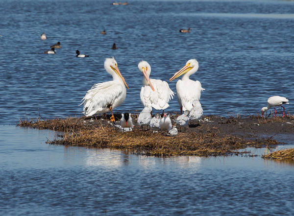 Pelican Island National Wildlife Refuge Wall Art - Photograph - The Three Amigos by John M Bailey