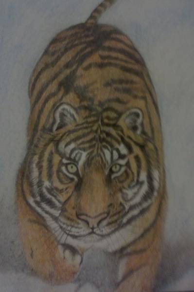 Bengal Tiger Drawing - The Tiger by Christy Saunders Church