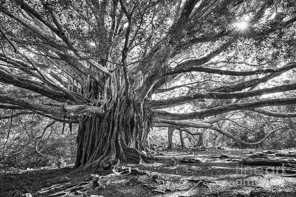 Indian Banyan Photograph - The Tree Of Life by Jamie Pham