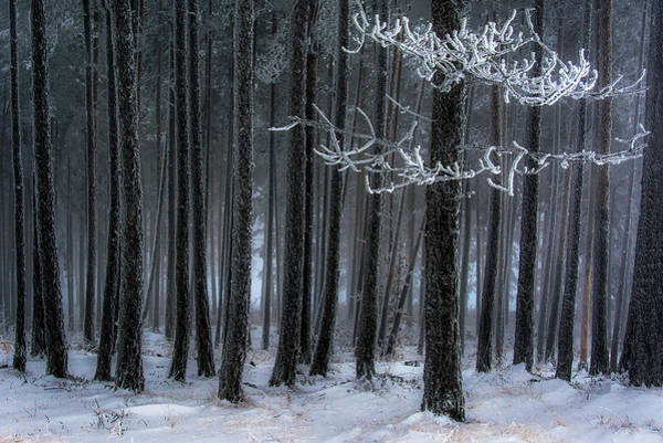Snowy Trees Photograph - The Trees Has Horns by Dragan Lapcevic