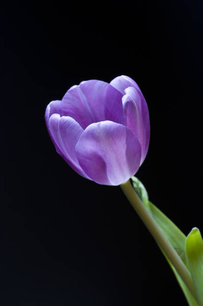 Photograph - The Tulip Is A Courtly Queen by Christi Kraft