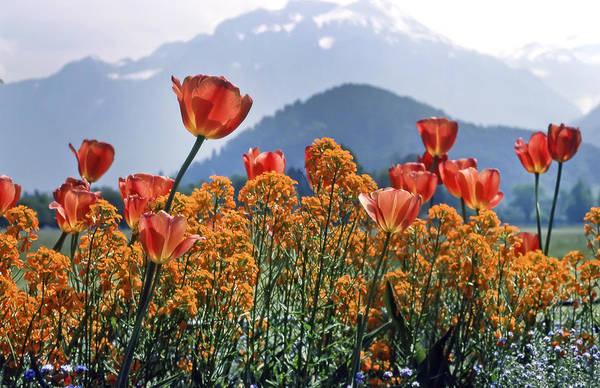 Photograph - The Tulips In Bloom by KG Thienemann