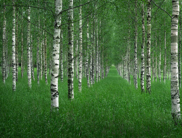 Birch Photograph - The Tunnel by Christian Lindsten