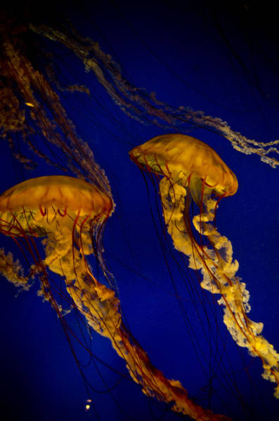 Georgia Aquarium Wall Art - Photograph - The Two Jellyfish by Jessica Berlin