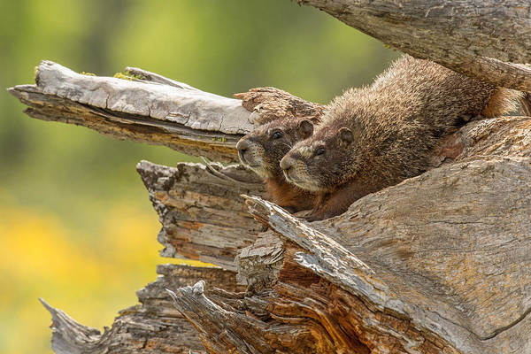 Marmot Photograph - The Two Of Us by Sandy Sisti