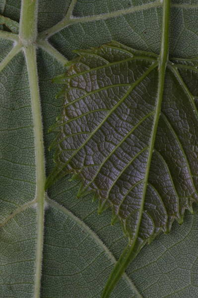 Photograph - The Underside Of Frost Grape Leaves by Daniel Reed