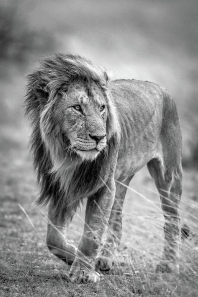 Mane Wall Art - Photograph - The Wary Champion by Jeffrey C. Sink