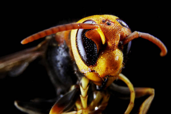 European Hornet Photograph - The Wasp 2 by Barnaby Chambers