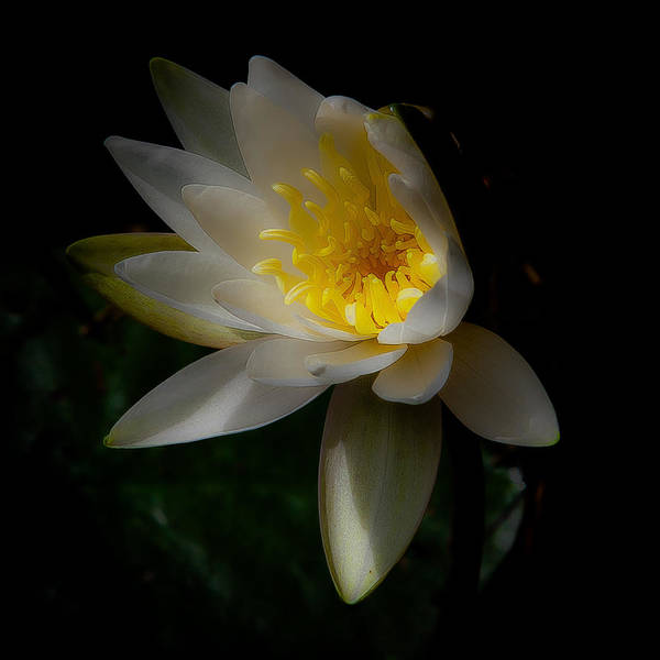 Wall Art - Photograph - The Water Lily by David Patterson