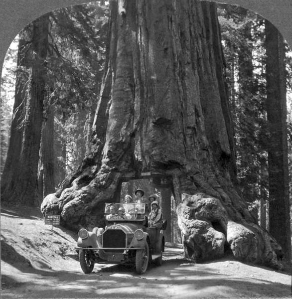 Sequoia Grove Photograph - The Wawona Giant Sequoia Tree by Underwood Archives